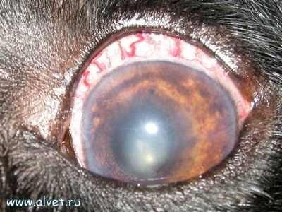 Як визначити катаракту очей у собаки