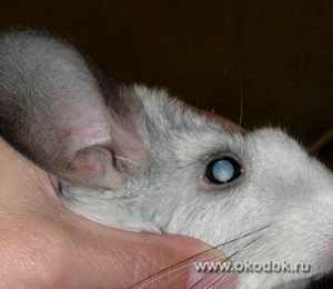 Як виглядає катаракта у кішок