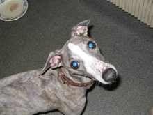 Як виглядає катаракта у собак фото